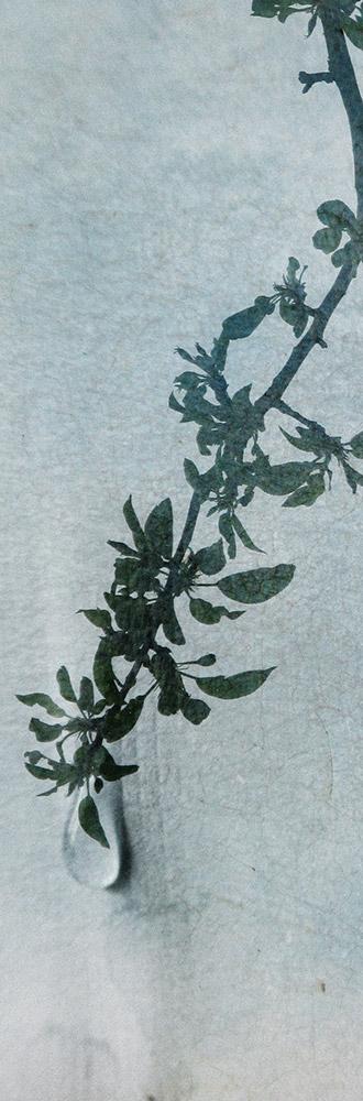 Lacrimosa iaponicus I